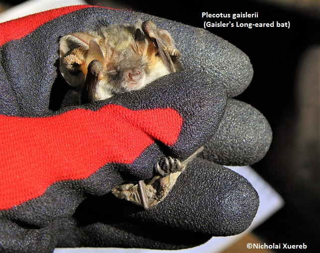 Gaisler's Long-Eared Bat