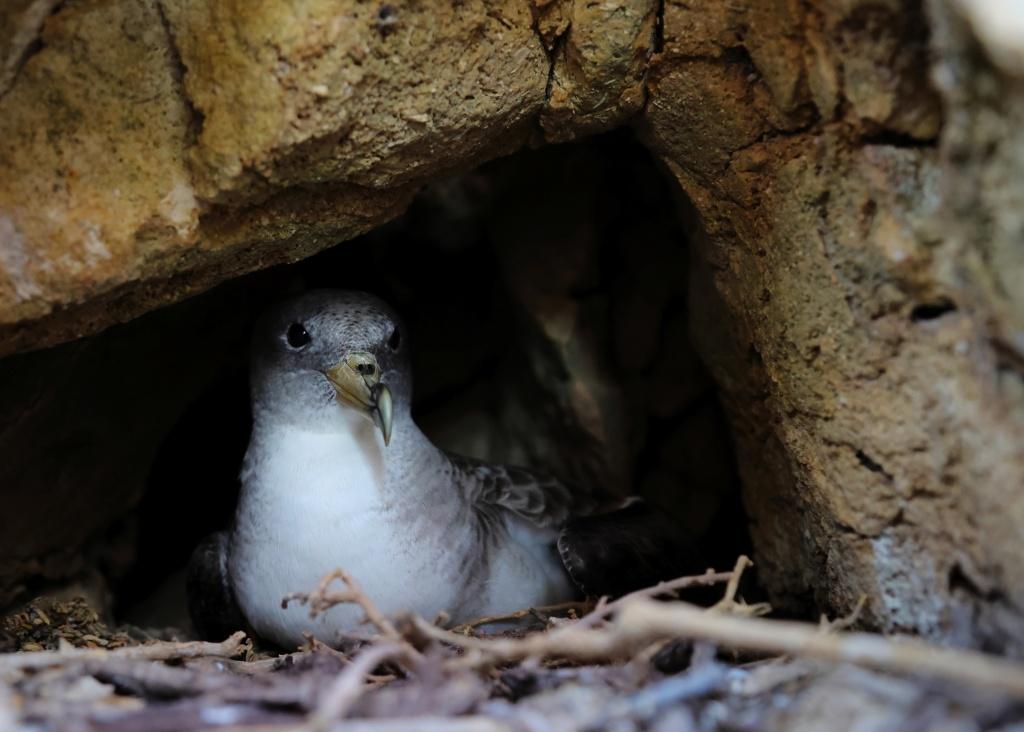 Scopoli's Shearwater in nest
